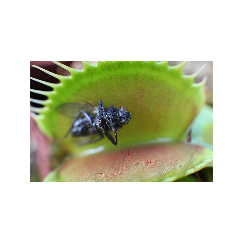 plante carnivore mangeuse de mouches. Black Bedroom Furniture Sets. Home Design Ideas
