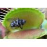 Plante carnivore mangeuse de mouches
